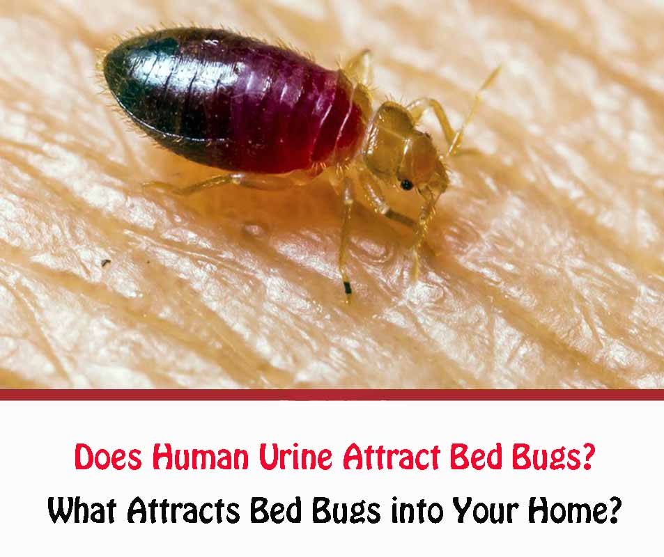 Does Human Urine Attract Bed Bugs
