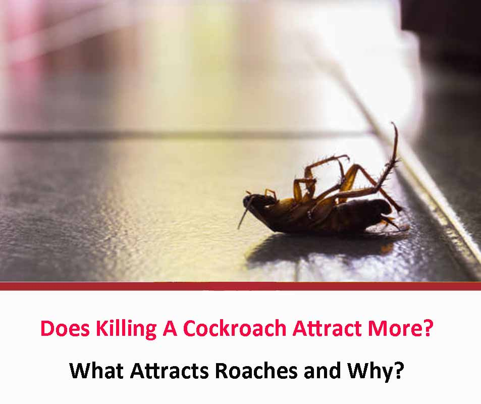 Does Killing A Cockroach Attract More??