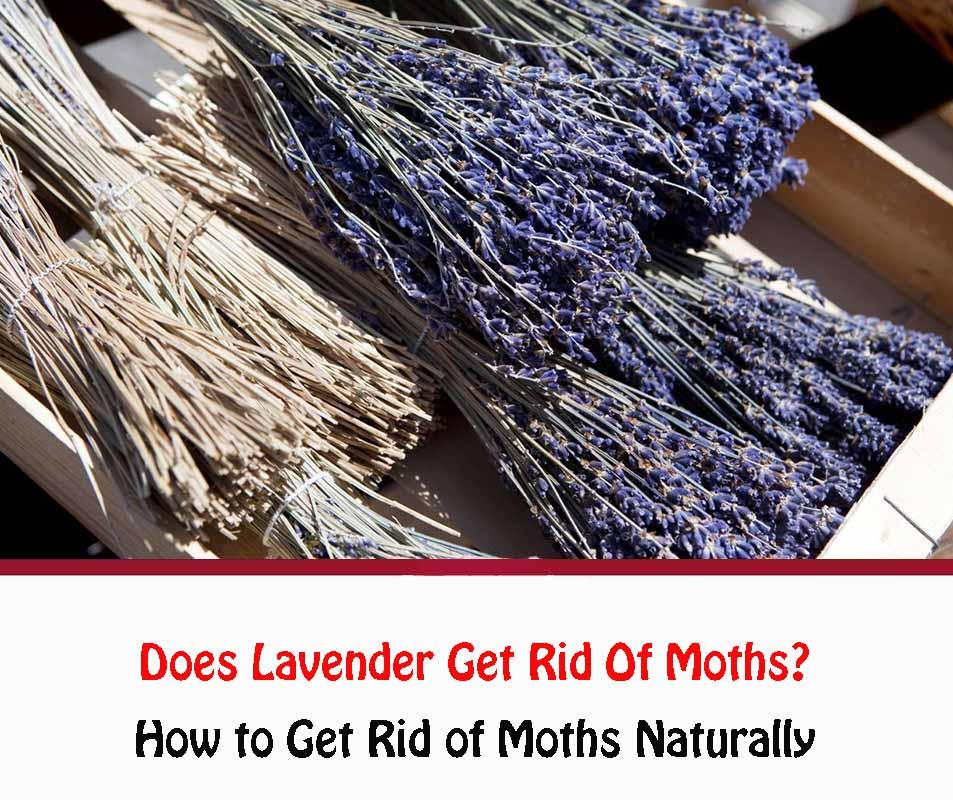 Does Lavender Get Rid Of Moths
