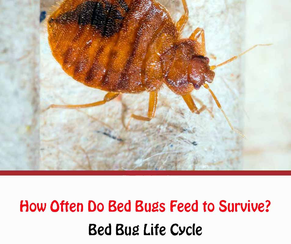 How Often Do Bed Bugs Feed to Survive?