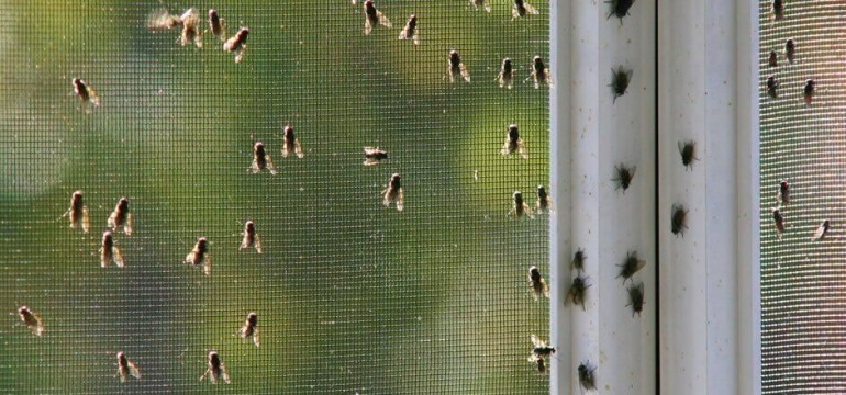 How To Prevent Tiny Black Fly Infestation On Your Windows