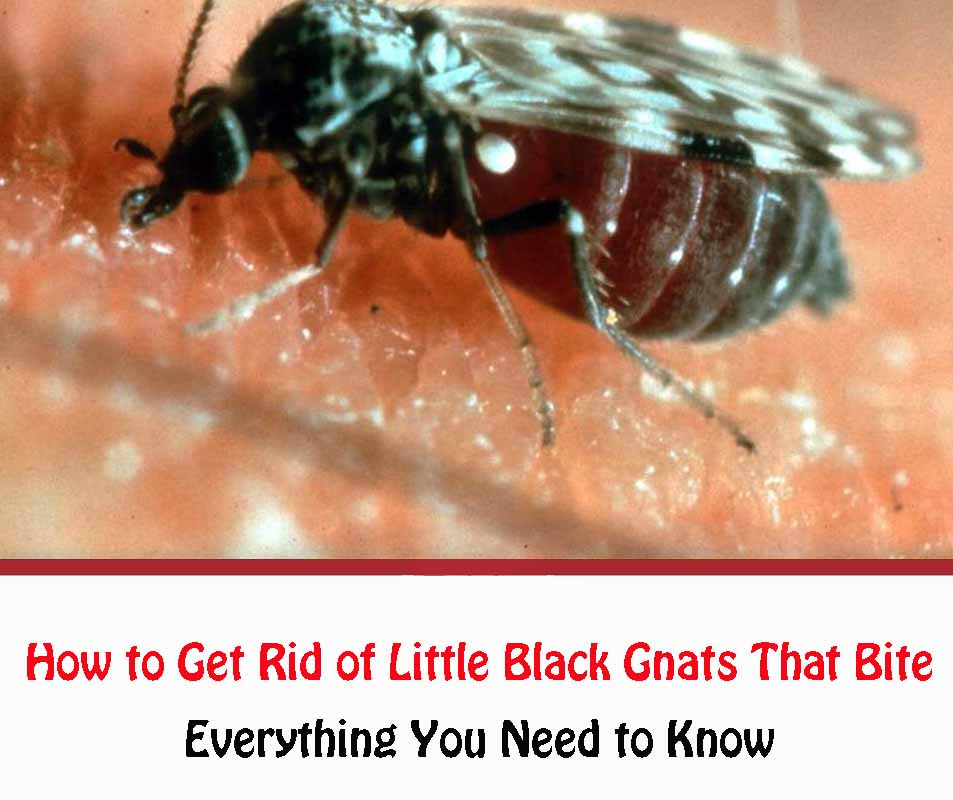How to Get Rid of Little Black Gnats That Bite