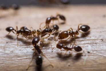 How To Get Rid Of Black House Ants Naturally