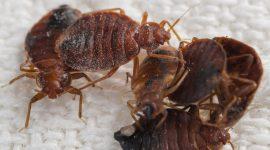 Do Bed Bug Traps Actually Work?