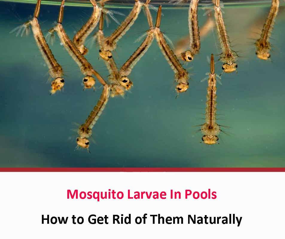 Mosquito Larvae In Pools