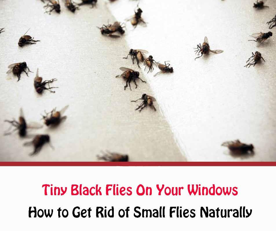 Tiny Black Flies On Your Windows