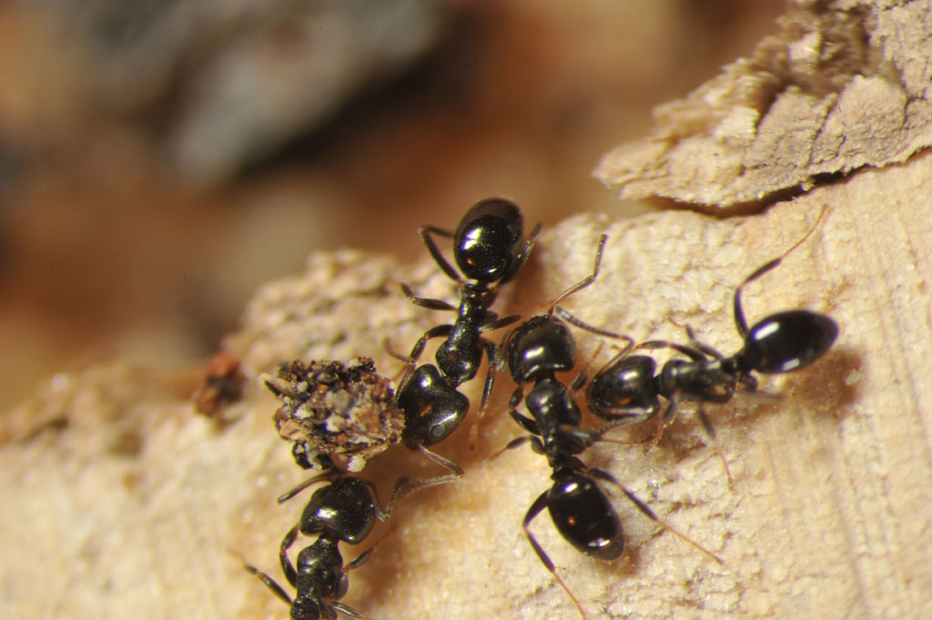Types of Ants In your House