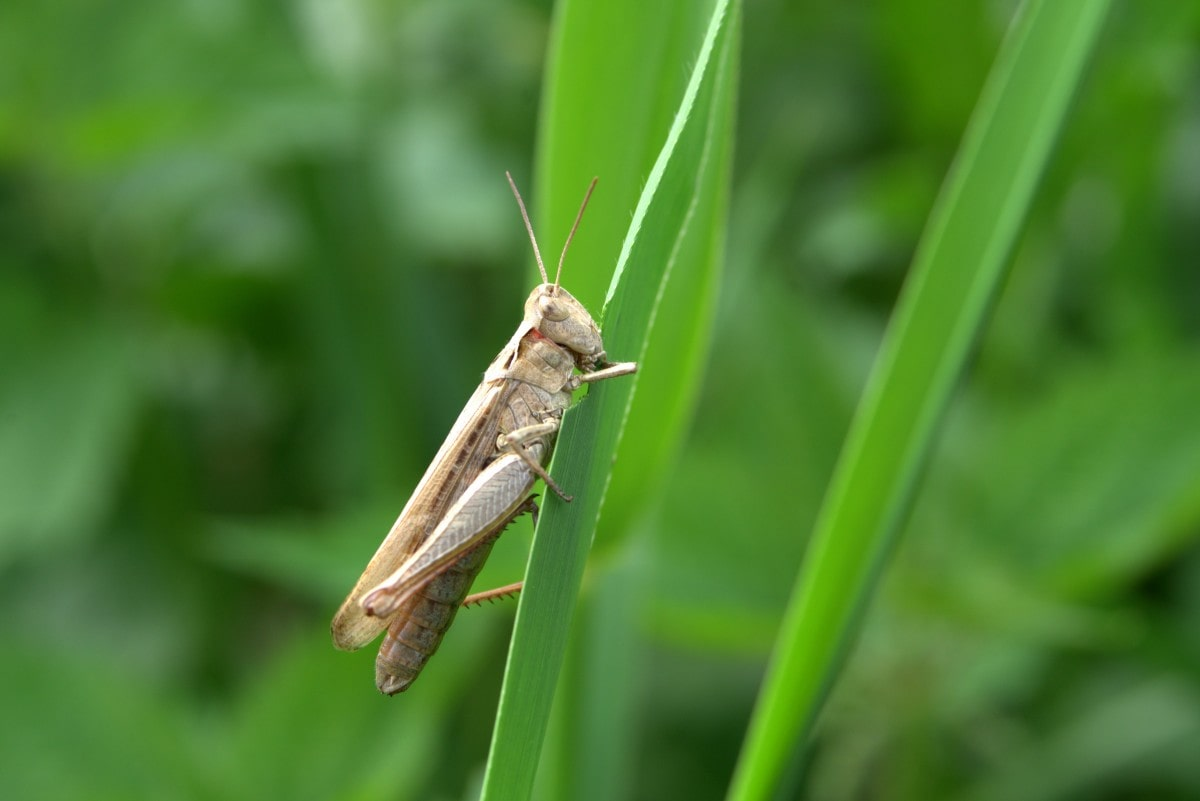 What Do Crickets Eat in the Wild