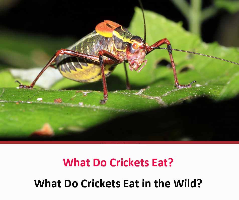 What Do Crickets Eat?