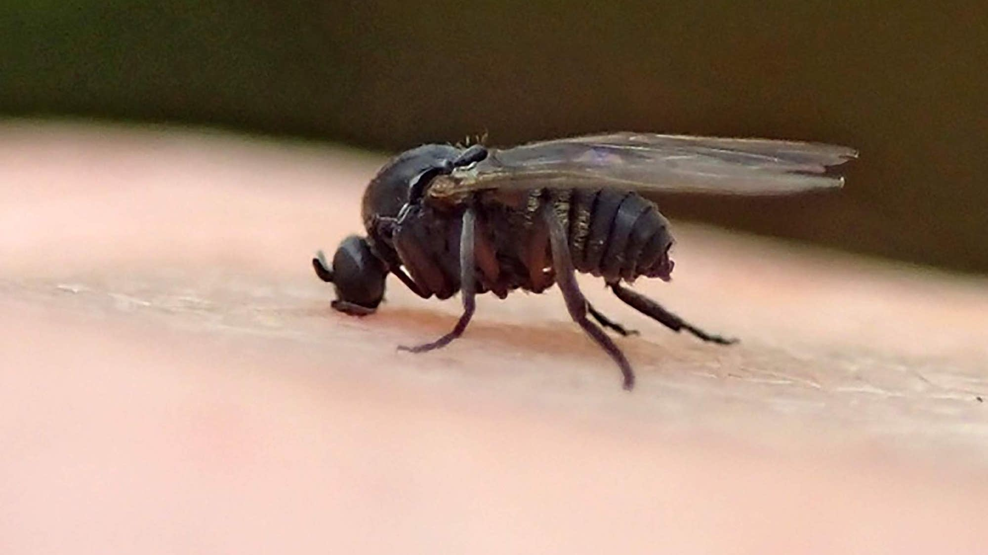 What are black gnats attracted to