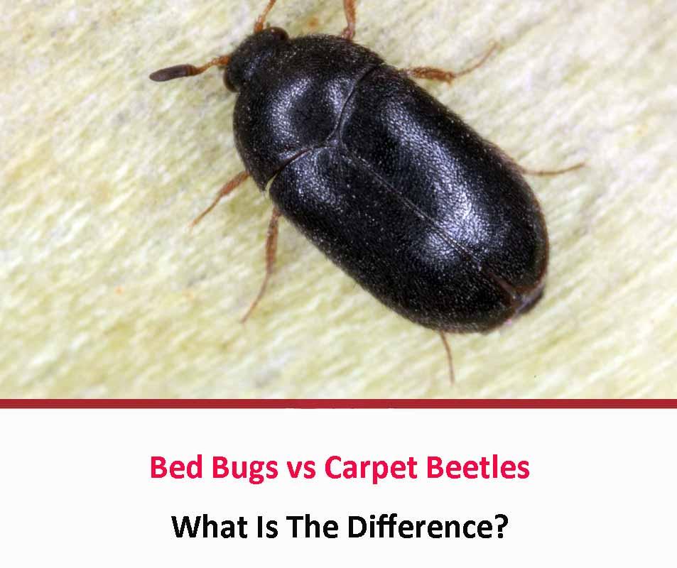 Bed Bugs vs Carpet Beetles