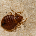 Do Bed Bugs Come From Not Being Clean?