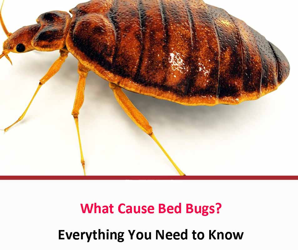 Do Poor Hygiene And Uncleanliness Cause Bed Bugs?