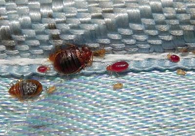 Do The Bed Bugs Smell When You Kill Them?