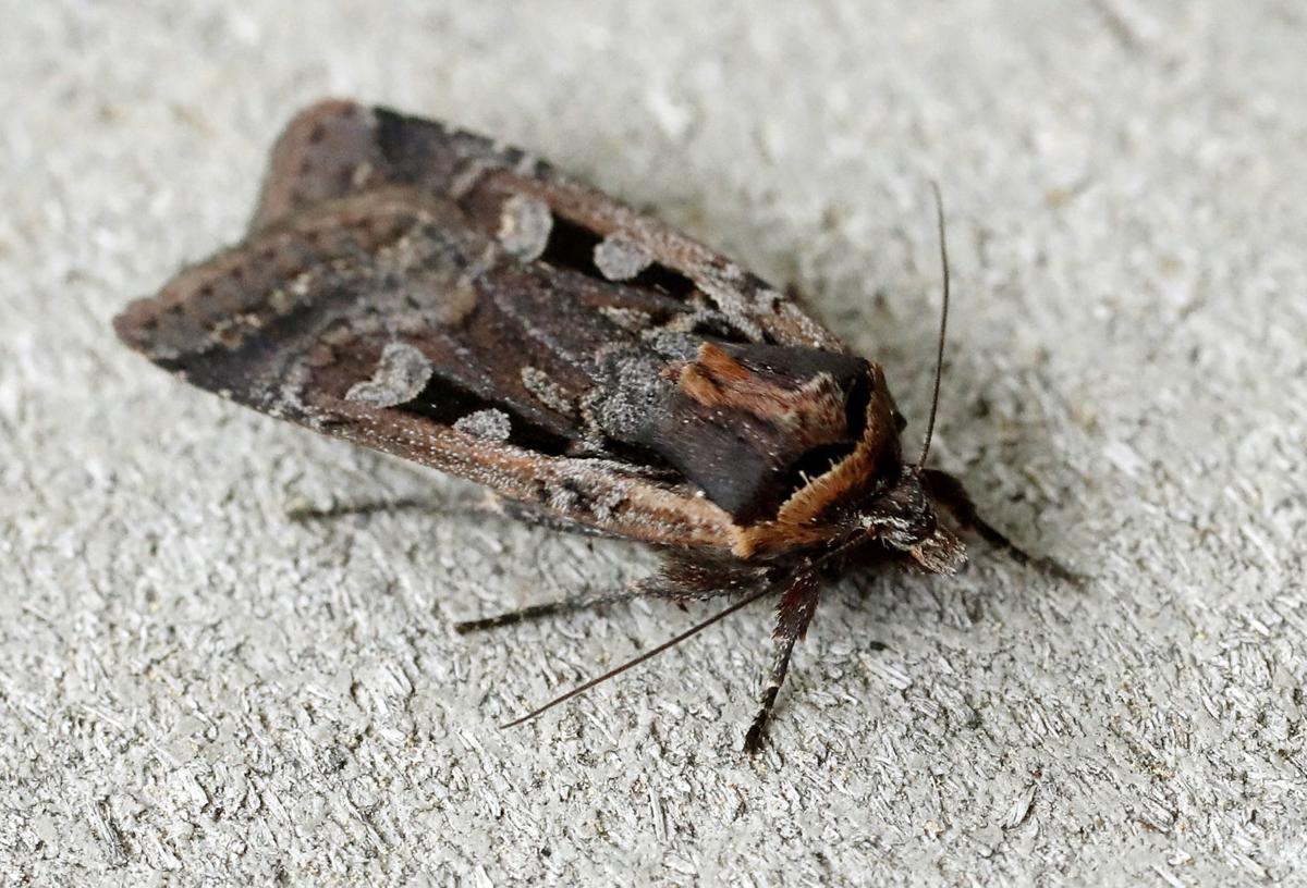 How To Prevent Miller Moths