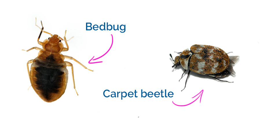 How to Get Rid of Carpet Beetles and Bed Bugs Naturally