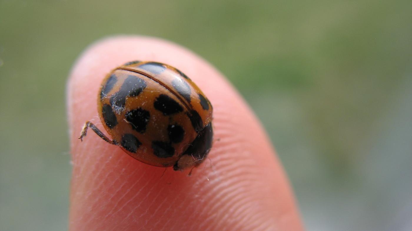 Types Of Ladybugs That Bite