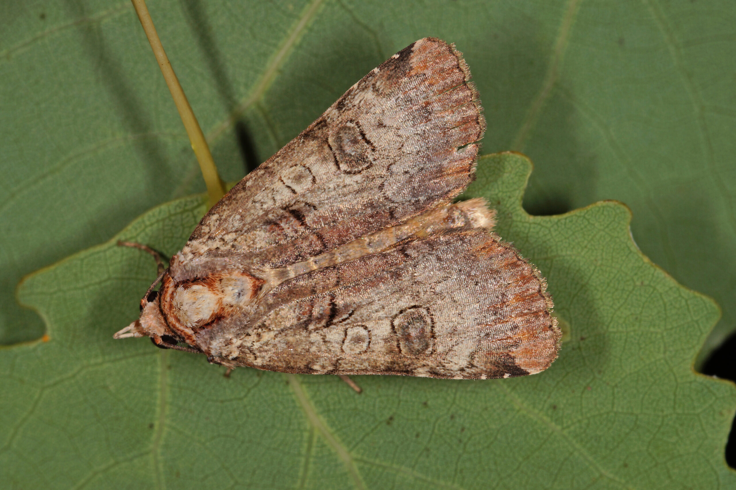 What Are Miller Moths?