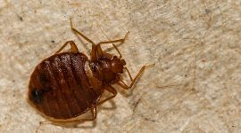 What Happens When You Squish A Bed Bug?