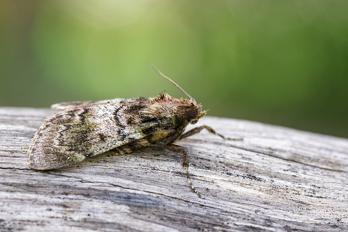 Why Are There So Many Miller Moths?