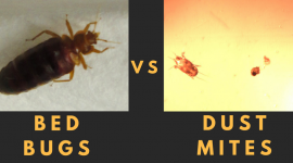 What's The Difference Between Bed Bugs And Mites?