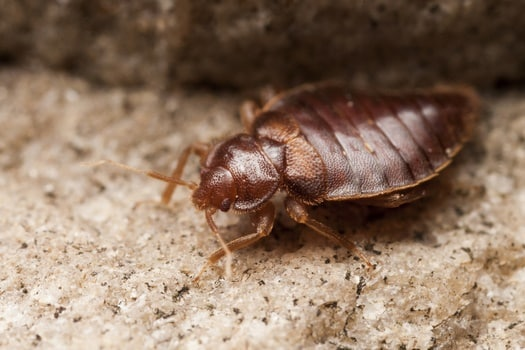 How Do Bed Bugs Survive Without Blood?