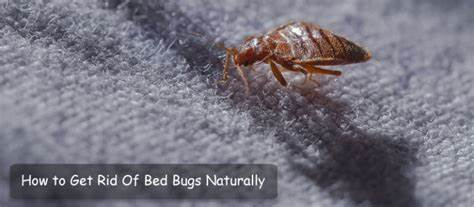 How To Eliminate Bed Bugs On Cats Naturally