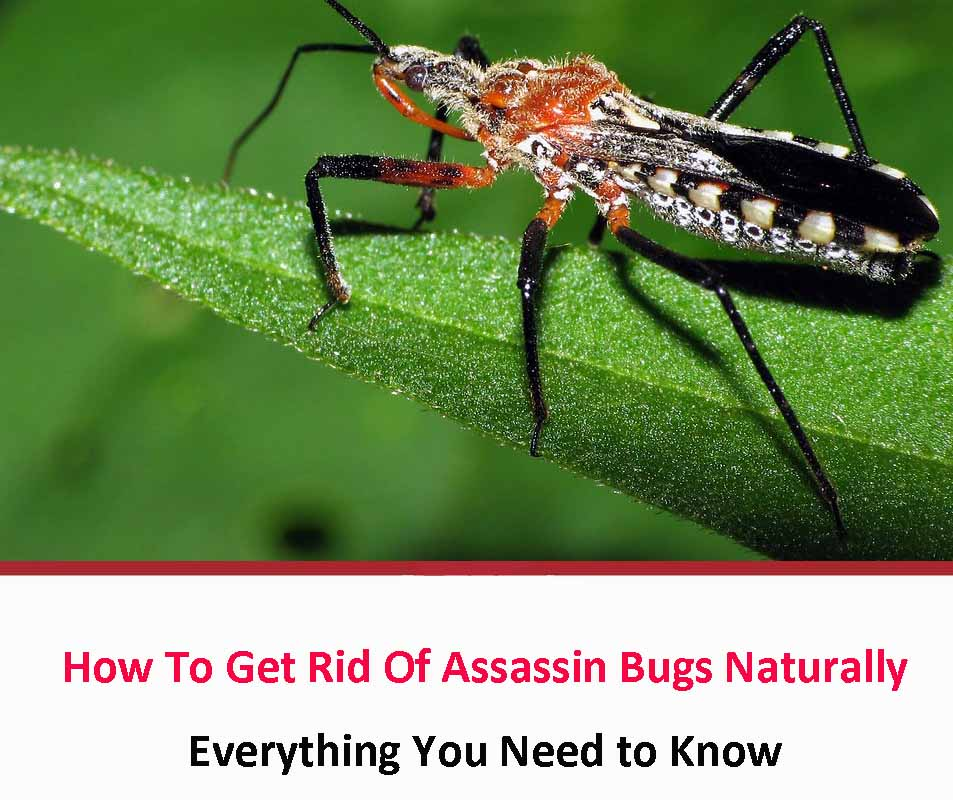 How To Get Rid Of Assassin Bugs Naturally