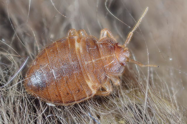 How to Get Rid of Bed Bugs and Mites