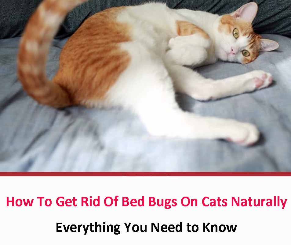 How To Get Rid Of Bed Bugs On Cats Naturally