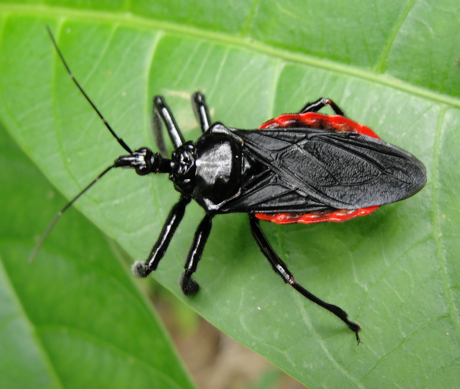How To Identify Assassin Bugs