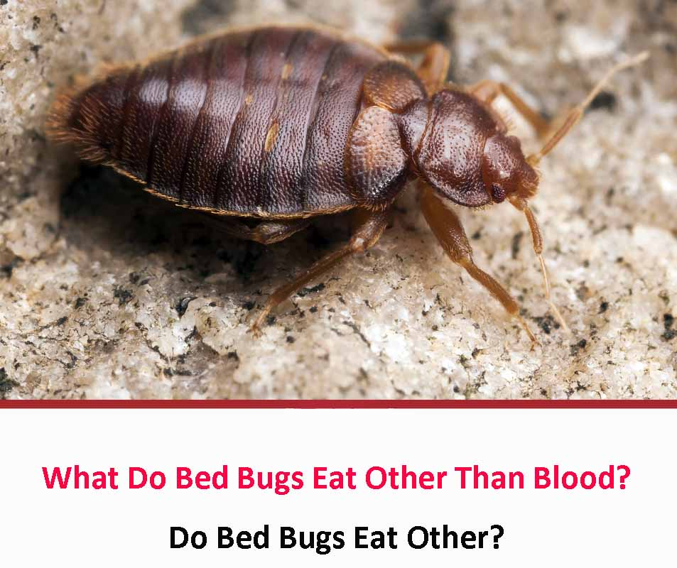 What Do Bed Bugs Eat Other Than Blood?