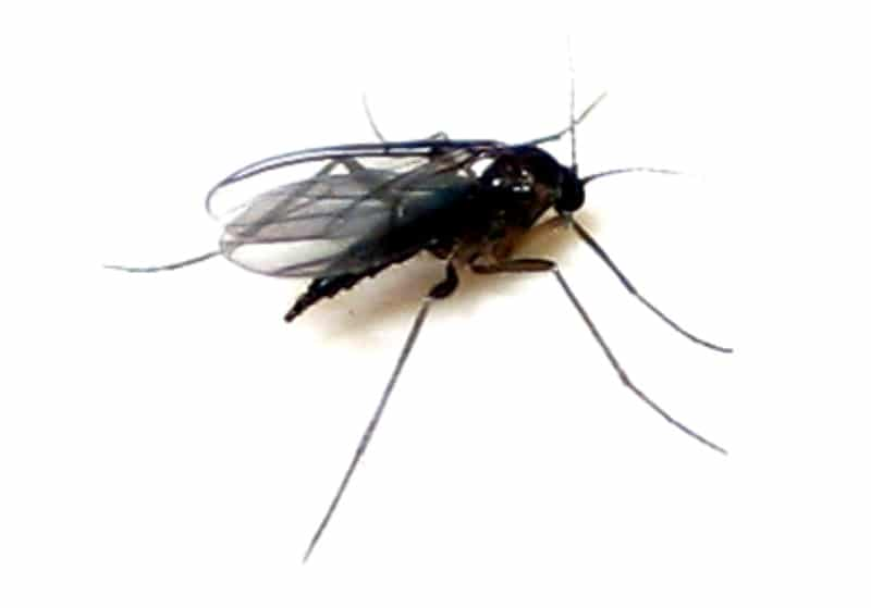 How to Eliminate Gnats inside the house naturally