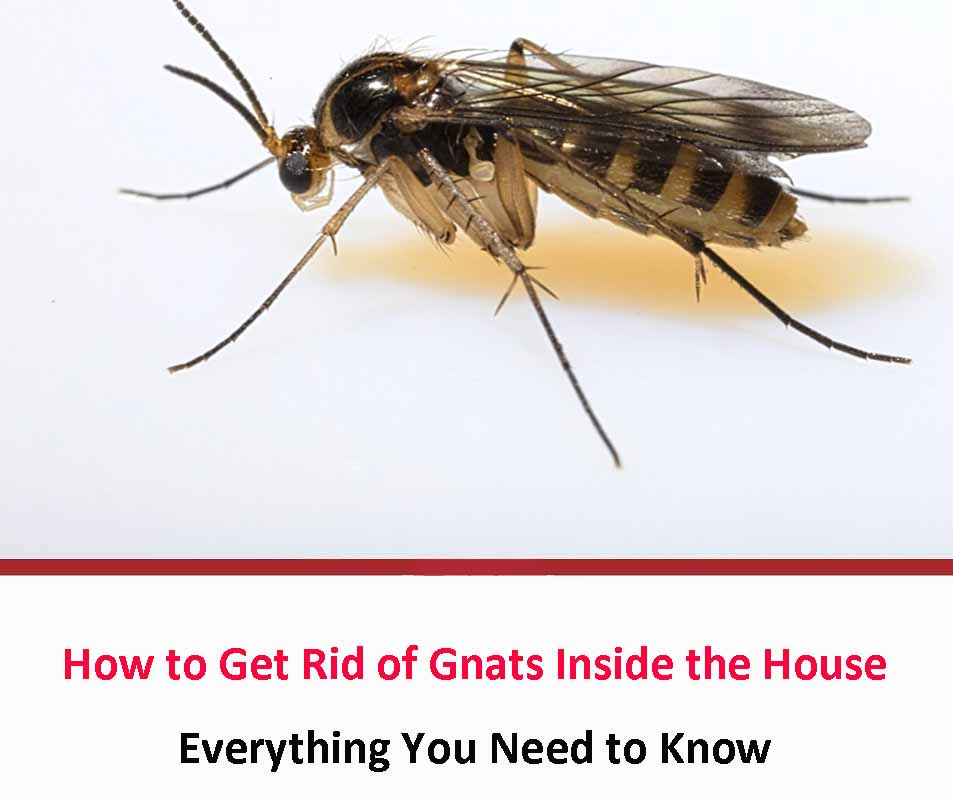 How to Get Rid of Gnats Inside the House