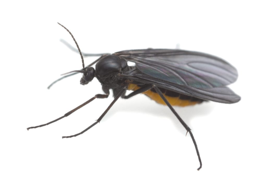 Types of Common Household Gnats